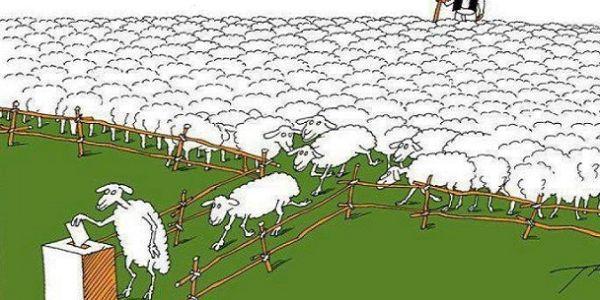 ovce-glasanje